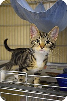 American Shorthair Kitten for adoption in Lebanon, Missouri - Atlas