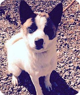 Akita/Collie Mix Dog for adoption in Ashburn, Virginia - Liberty
