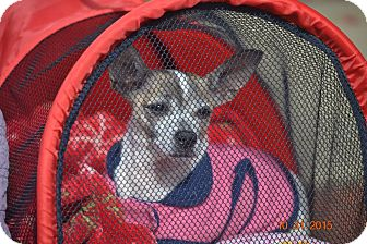 Chihuahua Mix Dog for adoption in Pennsauken, New Jersey - Penny