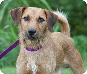 Terrier (Unknown Type, Small) Mix Dog for adoption in Marietta, Ohio - Whiskers
