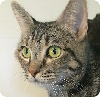 Domestic Shorthair Cat for adoption in Winchester, California - Jinxy