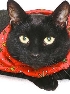 Domestic Shorthair Cat for adoption in Gloucester, Virginia - BEANS