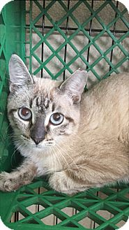 Siamese Cat for adoption in Hammond, Louisiana - Baldwin