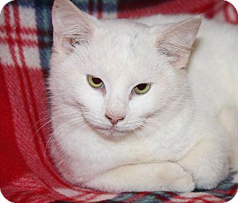 Domestic Shorthair Cat for adoption in Marietta, Ohio - Yuki (Neutered)