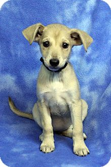 Welsh Corgi/Dachshund Mix Puppy for adoption in Westminster, Colorado - CEECEE
