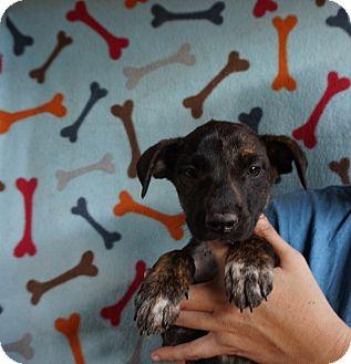 Beagle/Australian Shepherd Mix Puppy for adoption in Oviedo, Florida - Pandi