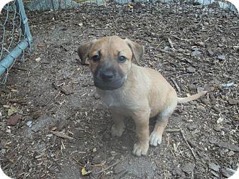 Labrador Retriever Mix Puppy for adoption in Rocky Mount, North Carolina - Tiki