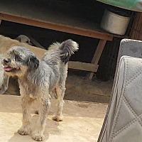 Adopt A Pet :: Grey - Oakton, VA