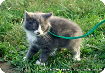 Domestic Longhair Kitten for adoption in PRINCETON, Kentucky - Coby/ADOPTED