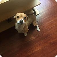 Adopt A Pet :: DILLA *courtesy post - Los Angeles, CA