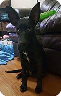Shepherd (Unknown Type)/Labrador Retriever Mix Puppy for adoption in Chantilly, Virginia - William