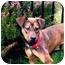 Photo 2 - Bloodhound/German Shepherd Dog Mix Puppy for adoption in Baldwin, New York - Fraazer