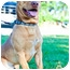 Photo 1 - Dachshund/American Pit Bull Terrier Mix Dog for adoption in Seattle, Washington - Boomer
