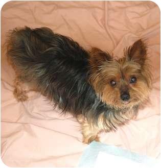 Yorkie, Yorkshire Terrier Dog for adoption in Charlotte, North Carolina - Mandy