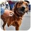 Photo 2 - Redbone Coonhound/Rhodesian Ridgeback Mix Dog for adoption in Pasadena, California - MORENA