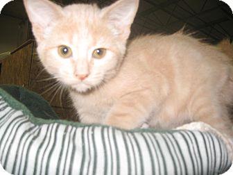 Domestic Shorthair Kitten for adoption in Trevose, Pennsylvania - Stevie