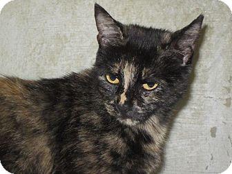 Domestic Mediumhair Cat for adoption in Southbury, Connecticut - Precious