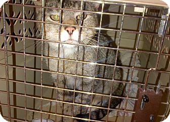 American Shorthair Cat for adoption in Walnut, Iowa - Sarah