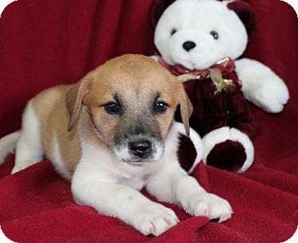 Labrador Retriever/Shepherd (Unknown Type) Mix Puppy for adoption in Salem, New Hampshire - Pork Chop