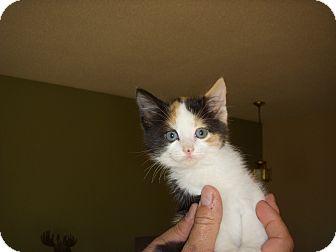 Domestic Shorthair Kitten for adoption in Rosemount, Minnesota - Tabitha