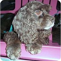 Adopt A Pet :: Bear - Sugarland, TX