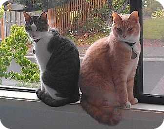 Domestic Shorthair Cat for adoption in HILLSBORO, Oregon - Henry and Cosmo 'Community Service Posting'