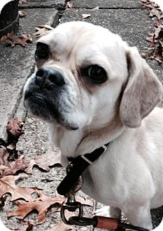 Pug/Beagle Mix Dog for adoption in Beachwood, Ohio - Ginnie Moon