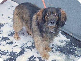Spaniel (Unknown Type) Mix Dog for adoption in albany, New York - ELMER