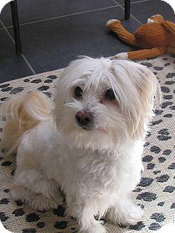 Coton de Tulear Dog for adoption in Baton Rouge, Louisiana - Spartan