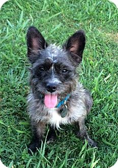 Cairn Terrier/Wirehaired Fox Terrier Mix Dog for adoption in Knoxville, Tennessee - Lizzy