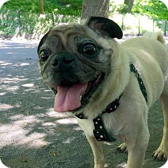Pug Mix Dog for adoption in Hoboken, New Jersey - Pugsley