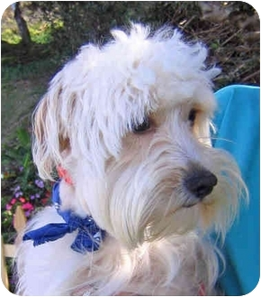 Cockapoo/Terrier (Unknown Type, Small) Mix Dog for adoption in San Diego/North County, California - Gilligan