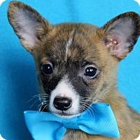 Adopt A Pet :: Gentry - Minneapolis, MN