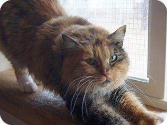 Calico Cat for adoption in Libby, Montana - Topaz