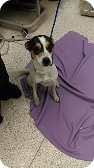 Terrier (Unknown Type, Medium) Mix Dog for adoption in University Park, Illinois - Jewel