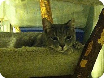 Domestic Shorthair Cat for adoption in Philadelphia, Pennsylvania - Crimpet