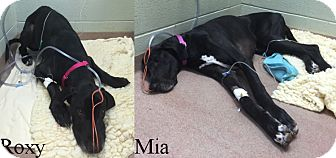 Great Dane Dog for adoption in York, Pennsylvania - Roxy and Mia