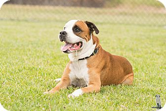 American Bulldog/Boxer Mix Dog for adoption in Seattle, Washington - Buddy, a big ole hunk of lovin