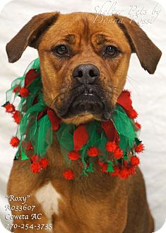 Boxer Mix Puppy for adoption in Newnan City, Georgia - Roxy