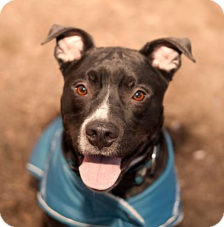 Labrador Retriever/Pit Bull Terrier Mix Dog for adoption in Acushnet, Massachusetts - Bud-E