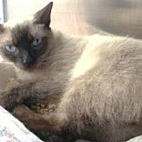 Siamese Cat for adoption in Miami, Florida - Lucy