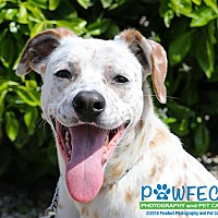 Adopt A Pet :: Marie - Gardena, CA