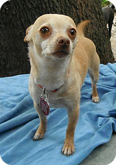 Chihuahua Dog for adoption in Wallis, Texas - Pickle