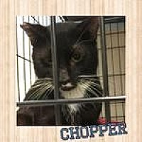 Adopt A Pet :: Chopper - Westbury, NY