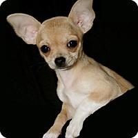 Adopt A Pet :: Sher - Aqua Dulce, CA