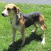 Adopt A Pet :: Mocha - Reeds Spring, MO