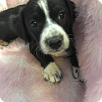 Adopt A Pet :: Jana - Southbury, CT
