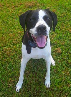Pointer/Labrador Retriever Mix Puppy for adoption in Nashville, Tennessee - Rocco