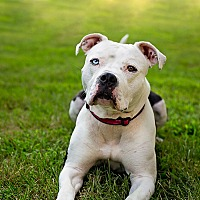 American Bulldog/American Pit Bull Terrier Mix Dog for adoption in Mansfield, Massachusetts - Sydney