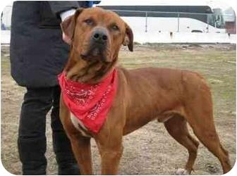 Mastiff/Rottweiler Mix Dog for adoption in Freeport, New York - Pheonix